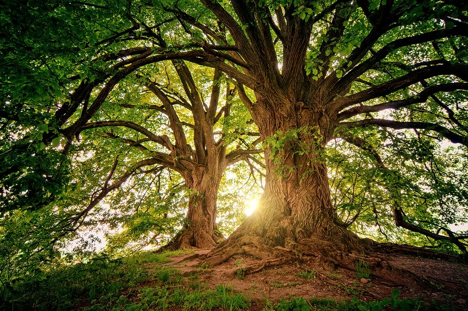 This is a picture of an Oak tree in Killeen, TX